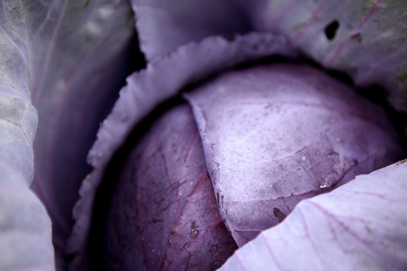 red-cabbage-1